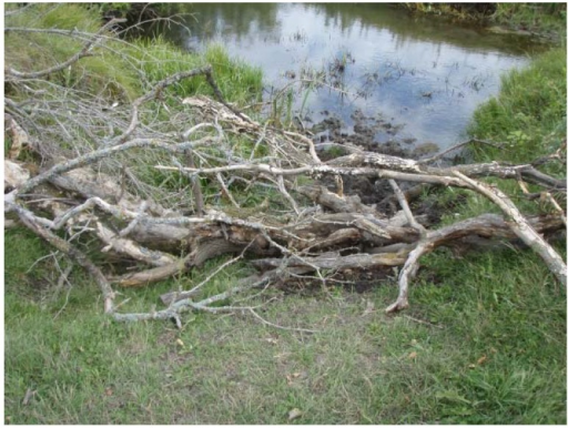 Example of a natural barrier constructed from deadfall (fallen trees and branches) placed at common watering and crossing locations in 2BARR.
