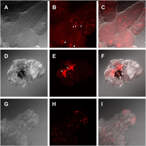 Expression pattern of the esg L4 enhancer trap.(A-C) L4>UAS-GFP third instar larval central nervous system (CNS) and adjacent imaginal discs A) Differential interference contrast (DIC) microscopy image. (B) Confocal maximal projection of an immunohistochemistry against GFP. Arrows show the medial section of the thoracoabdominal ganglion esg expressing neurons and arrowheads show mushroom bodies. (C) Overlay of DIC and confocal images. (D-F) L4>UAS-GFP third instar larval inverted maxillary region that includes labial imaginal discs. (D) DIC microscopy image. (E) Confocal maximal projection of GFP fluorescence. Arrows show the expression domain in the proximal labial discs. Arrowheads show mandibles. (F) Overlay of (D) and (E). (G-I) L4>UAS-Stinger late pupal proboscis. (G) DIC microscopy image. (H) Confocal maximal projection of stringer fluorescence. (I) Overlay of (H) and (I). White dash-lines show the border of the CNS and labial imaginal discs, respectively.
