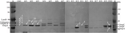 Sodium dodecylsulfate-polyacrylamide gel electrophoresis (SDS-PAGE) analysis of OMPs extracted from 8 K. pneumoniae and 10 E. coli isolates. M, protein molecular weight marker; KP1–KP6, carbapenem-resistant or reduced susceptible K. pneumoniae isolates; KP7, carbapenem-susceptible clinically isolated K. pneumoniae; EC1–EC8, carbapenem-resistant or reduced susceptible E. coli isolates; EC9, carbapenem-susceptible clinically isolated E. coli; 13883 and 25922 represent for ATCC strains of K. pneumoniae and E. coli, respectively. Twelve white arrowed bands were digested with trypsin for the following MALDI-TOF/TOF MS analysis.
