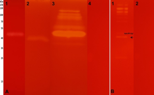 Zymogram.(A) SDS-PAGE-CMC lane 1 GE–C. fulviceps, lane 2 GE—N. aquilinus, lane 3 SN—cultures from N. aquilinus, lane 4 negative control, medium CMC. (B) SDS-PAGE-xylan line 1 SN—cultures from N. aquilinus P. purpureum, lane 2 negative control, medium PP. The arrows show the bands analyzed by de novo sequencing peptide identification.