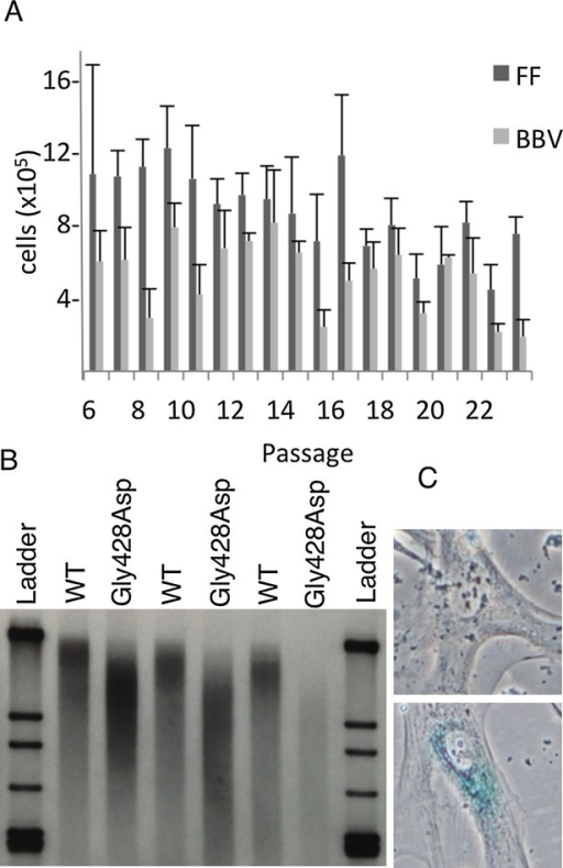 Increased senescence is associated with the G428D mutation as evidenced by decreased replicative capacity over serial passages (A), increased telomere shortening over serial passages (B), and increased beta-galactosidase staining (C).