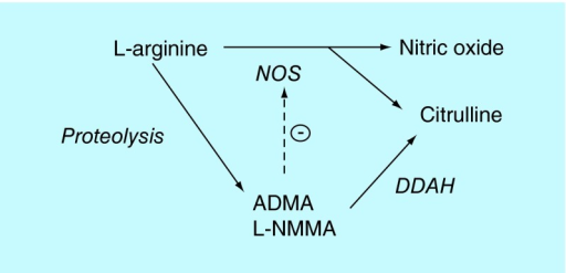 Synthetic and degradation pathways of nitric.Nitric oxide is synthesized, along with citrulline, from L-arginine by nitric oxide synthase. L-arginine may be proteolyzed to form methylarginines (ADMA and L-NMMA), which in turn inhibit NOS activity by competing with arginine at the active site. Methylarginines are metabolized by dimethyl-arginine-dimethyl-aminohydrolase (DDAH) into citrulline and dimethylarginine. Citrulline can be converted back to arginine by enzymes of the urea cycle [25].NOS: Nitric oxide synthase;DDAH: dimethyl-arginine-dimethyl-aminohydrolase.