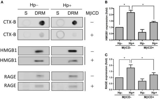 Role of cholesterol-rich microdomains in H. pylori-induced HMGB1 and RAGE expression. AGS cells were untreated or pretreated with 5 mM MβCD at 37°C for 1 h. Cells were then washed and infected with H. pylori at an MOI of 100 for 6 h. (A) Detergent-resistant membrane (DRM) and detergent-soluble (S) fractions were prepared and subjected to cold detergent extraction using 1% Triton X-100 at 4°C followed by centrifugation. Each fraction was analyzed by dot blot or Western blot using cholera toxin subunit B (CTX-B) conjugated to horseradish peroxidase or antibodies against HMGB1 and RAGE, respectively. Protein expression levels of (B) HMGB1 and (C) RAGE were quantified by densitometric analysis (*P < 0.05).