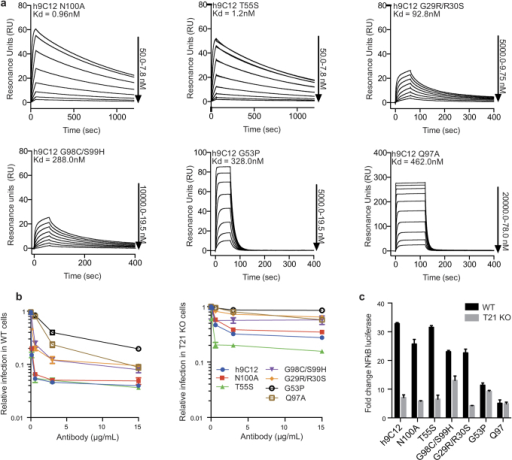 Modulation of h9C12 on and off-rate kinetics have disproportionate affects on antiviral activity.(a) SPR titrations of selected h9C12 variants. (b) Neutralization of Adv5 infection by h9C12 variants in 293 T WT cells or 293 T TRIM21 KO cells. (c) Induction of NFκB in 293 T WT and TRIM21 KO cells by h9C12 variants upon adenovirus infection. Cellular experiments were performed in triplicate.