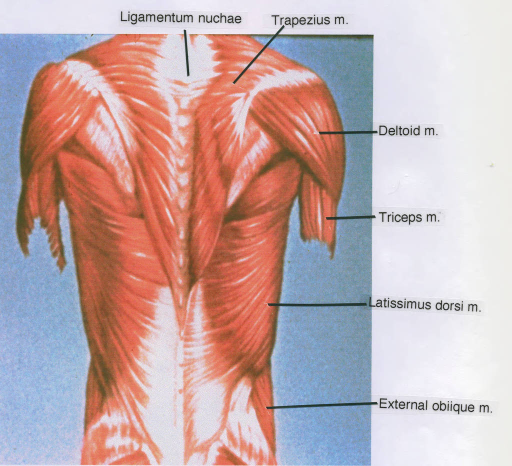ligamentum nuchae; trapezius muscle; deltoid muscle; triceps muscle; latissimus dorsi muscle; external oblique muscle