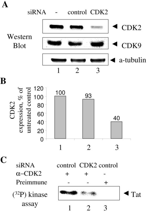 CDK2-directed siRNA inhibits CDK2 expression. A, CDK2-directed siRNA inhibits expression of CDK2. HeLa cells were transfected with siRNAs targeting CDK2 (lane 3) or non-targeting control pool (control, lane 2). Lane 1, untransfected cells. At 48 hours post-transfection cells were lysed and cellular extracts were resolved on 12% Tris-Tricine SDS-PAGE and analyzed by immunoblotting analysis with antibodies against CDK2, CDK9 or α-tubulin. B, quantification of the CDK2 expression in panel A using α-tubulin expression level for normalization. C, CDK2-directed siRNA inhibits enzymatic activity of CDK2. CDK2 was precipitated from cellular extracts prepared from HeLa cells transfected with siRNAs targeting CDK2 (lane 2) or non-targeting control (lanes 1 and 3). Lanes 1 and 2, precipitation with rabbit anti-CDK2 antibodies. Lane 3, precipitation with rabbit preimmune serum. Immunoprecipitates were incubated with γ-(32P)ATP and recombinant Tat (see Methods), resolved on 12% Tris-Tricine SDS-PAGE and analyzed by autoradiography on Phosphor Imager. Position of Tat is indicated.