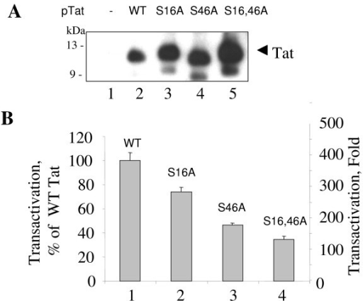 Mutations of Ser16 and Ser46 of Tat reduce its transactivation potential. A, COS-7 cells were transfected with WT Tat, Tat S16A, Tat S46A or Tat S16,46A expression vectors. At 48 hours posttransfection, the cells were lysed. Tat was immunoprecipitated from the lysates with rabbit polyclonal antibodies, resolved by 15% Tris-Tricine SDS-PAGE and immunoblotted with monoclonal anti-Tat antibodies. B, HeLa cells were transfected with the HIV-1 LTR-LacZ expression vector alone (not shown here) and in combination with WT Tat, Tat S16A, Tat S46A or Tat S16,46A expression vectors. At 48 hours posttransfection, cells were lysed and analyzed for β-galactosidase activity with ONPG.