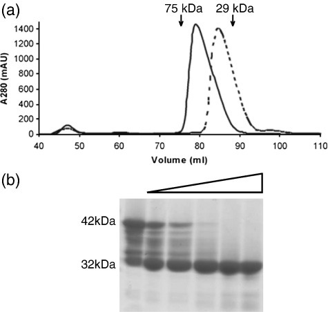 Size-exclusion chromatography and limited proteolysis of MxiC. a, Elution of MxiCFL (continuous line) and MxiCNΔ73 (broken line) from a HiLoad 16/60 Superdex 200 column pre-equilibrated in 20 mM Tris (pH 7.5), 150 mM NaCl. MxiCFL and MxiCNΔ73 elute as monomers as single, slightly asymmetric peaks. b, SDS-PAGE of limited proteolysis of MxiCFL. Degradation of purified MxiCFL was considerable after storage at 4 °C for eight weeks (lane 1). Limited proteolysis was carried out on freshly purified MxiCFL incubated for 2 h at 20 °C with an increasing mass ratio of protein:subtilisin from 20 μg:2 ng to 20 μg:80 ng (lanes 2–6). Methods: DNA fragments of the mxiC gene encoding residues 1–355 (full length, MxiCFL) and 74–355 (N-terminal truncation, MxiCNΔ73) were produced by PCR (FLf, CATATGCTTGATGTTAAAAATACAGGAGTTTTT; N73f, CATATGAGTCAGGAACGTATTTTAGAT; FLr, GAATTCTTATCTAGAAAGCTCTTTCTTGTATGCACT) and cloned into the NdeI-EcoRI sites of the pET28b vector. These constructs include an N-terminal His6-tag and a thrombin cleavage site. MxiC constructs were expressed in Escherichia coli BL21 (DE3) cells grown in LB medium containing 34 μg ml− 1 kanamycin. Cells were grown at 37 °C until an A600 nm of ∼ 0.6 was reached, whereupon they were cooled to 20 °C and protein over-expression was induced by the addition of IPTG (1.0 mM final concentration). After ∼ 16 h, cells were harvested by centrifugation (15 min, 5000g, 4 °C) and pellets were frozen at – 80 °C. Cell pellets were resuspended in lysis buffer (20 mM Tris (pH 7.5), 500 mM NaCl and Complete EDTA-free Protease Inhibitor Cocktail, Roche) and lysed using an Emulsiflex-C5 Homogeniser (Glen Creston, UK). The resultant cell suspension was centrifuged (20 min, 20,000g, 4 °C) and the soluble fraction was applied to a pre-charged HisTrap FF nickel affinity column (GE Life Sciences). Protein was eluted using a gradient of 0–1 M imidazole in 20 mM Tris (pH 7.5), 500 mM NaCl and fractions containing MxiC were further purified by size-exclusion chromatography as described above. SDS-PAGE analysis revealed MxiCFL and MxiCNΔ73 to be pure (data not shown). Fractions containing purified MxiC were pooled and concentrated using Millipore Ultra-15 10 k MWCO centrifugal filtration devices to 7 mg ml− 1 and stored at 4 °C. Selenomethionine (SeMet)-labeled MxiC was produced by expression in the E.coli met− auxotrophic strain B834 (DE3). Cultures were grown in LB medium to an A600 nm of 0.9 then pelleted (15 min, 4000g, 4 °C) and washed in PBS three times before being used to inoculate SelenoMet Medium Base™ containing SelenoMet Nutrient Mix™ (Molecular Dimensions). Cells were grown and induced as described above. SeMet-labeled protein was purified as described above. Full incorporation of selenomethionine was confirmed by mass spectrometry. Dynamic light-scattering experiments were performed on a Viscotek model 802 DLS instrument using the OmniSIZE 2.0 acquisition and control software according to the manufacturer's instructions at 20 °C on a 1 mg ml− 1 protein sample in 20 mM Tris (pH 7.5), 150 mM NaCl.