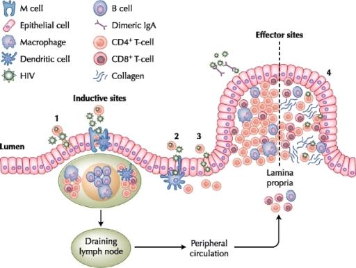 peyers patches immune system - klejonka, Human Body