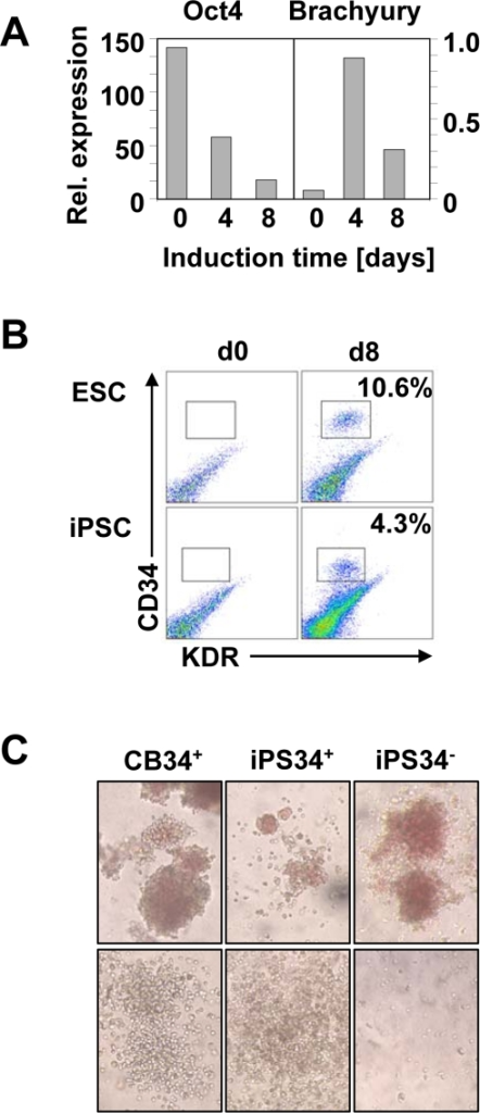 Hematopoietic differentiation of human iPSC.(A) Oct-4 and Brachyury mRNA expression were assessed by quantitative PCR at the onset of the differentiation (d0), and 4 (d4) and 8 (d8) days later. The expression of the Gus-B housekeeping gene was used for normalization (representative data of 3 experiments). (B) CD34 and KDR expression was assessed by flow cytometry. ESC are shown in the upper panels and iPSC in the lower panels. Expression prior to differentiation (d0, left panel) and after 8 days (d8, right panel) is depicted. (C) CFU morphology was assessed upon 14 days of methylcellulose culture of iPSC-derived cells. Erythroid CFUs (upper panels) and myeloid CFUs (lower panels) were observed in these cultures and CB-derived cells are shown (initial magnification ×100).