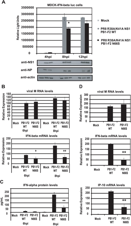 PB1-F2 N66S reduces IFN induction by a dsRNA and TRIM25 binding mutant NS1 influenza virus.(A) An MDCK cell line expressing an IFN-β promoter driven luciferase reporter (MDCK-IFN-beta luc) was infected with PR8 viruses expressing the dsRNA/TRIM25 binding mutant form of NS1 (R38A/K41A) as well as PB1-F2 WT or PB1-F2 N66S at an MOI of 0.5. Cells were lysed at 4, 8 and 12 hpi and luciferase activity was measured. In addition, cell lysates were analyzed for protein expression via Western blot analyses. (B and C) Primary human dendritic cells were infected with the viruses described in (A) at an MOI of 0.5 and RNA was harvested for qRT-PCR analyses at 6 and 8 hpi (B). In addition, supernatants were analyzed for IFN-alpha secretion via ELISA (C). (D) A549 cells were infected with the viruses described in (A) at an MOI of 0.5 and RNA was analyzed via qRT-PCR at 6 hpi. All data represent means ± standard deviations of one representative experiment (n = 3). Statistical significance was determined using Student's t test. *, p<0.05; **, p<0.01. Statistical significance is relative to PB1-F2 WT. Data shown are representatives of two independent experiments.