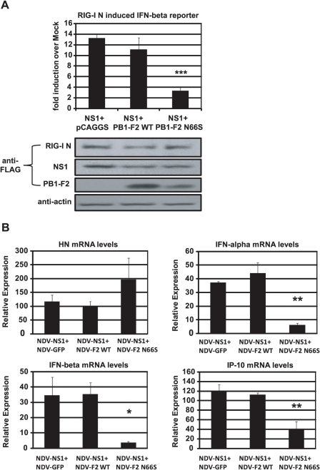 PB1-F2 N66S further enhances NS1 mediated IFN antagonism in an overexpression system.(A) 293T cells were transfected with IFN-β reporter, renilla reporter, RIG-I N expression plasmid and the indicated combination of expression plasmids. Twenty-four hours post transfection, luciferase and renilla signals were determined by luminometry. In addition, Western blot analyses were applied to determine protein expression levels from cell extracts. (B) Primary human dendritic cells were co-infected with the indicated combination of recombinant NDV viruses at an MOI of 1 per virus. RNA was harvested and subjected to qRT-PCR 14 hpi. All data represent means ± standard deviations of one representative experiment (n = 3). Statistical significance was determined using Student's t test. *, p<0.05; **, p<0.01; ***, p<0.001. Statistical significance is relative to NS1+pCAGGS and NDV-NS1+NDV-GFP. Data presented in A are representatives of two independent experiments and data in B are representatives of three independent experiments performed in different donors.