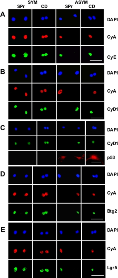 Evaluation of ASRA protein biomarkers by sister pair (SPr) and cytochalasin D (CD) assay.Shown are examples of fluorescent photomicrographs from parallel SPr and CD analyses using dual indirect ISIF performed simultaneously with two different biomarker-specific antibodies of different species origin. Species-specific secondary antibodies conjugated to red and green fluorochromes were used, respectively, for biomarker-specific imaging. SYM, symmetric self-renewal by p53- Con-3 cells with ZnCl2. ASYM, asymmetric self-renewal by p53-inducible Ind-8 cells with ZnCl2 to induce p53 expression. DAPI, nuclear DNA fluorescence. CyA, indirect ISIF with specific antibodies for cyclin A, an indicator for cycling late G1, S, and G2 cells with greatest expression in G2 phase. A. Dual indirect ISIF with antibodies for cyclin A and cyclin E (CyE), an indicator for cycling late G1 and S phase cells, with highest expression in early S phase. B. Dual indirect ISIF with antibodies for cyclin A and cyclin D1 (CyD1), an indicator for cycling G1 or arrested late G1 and early S phase cells, with highest expression in late G1 phase. C. Dual indirect ISIF with antibodies for cyclin D1 and p53. D. Dual indirect ISIF with antibodies for cyclin A and Btg2. E. Dual indirect ISIF with antibodies for cyclin A and Lgr5. See Table 1 for quantitative analyses for the CyA∶CyD1 and CyA∶Btg2 SPr and CD assays. Only the CD analysis was quantified for the CyA∶Lgr5 assays (n = 61, 58; and % co-asymmetric CyA and Lgr5 expression = 20%, 4% for paired nuclei in the ASYM state versus the SYM state, respectively; p<0.006 by the two-tailed Fisher's exact test). Scale bars = 50 microns.