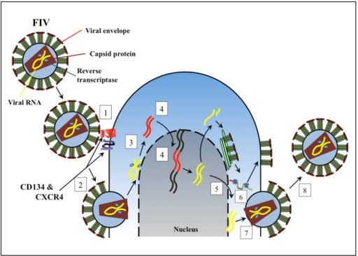 Diagram Of Feline Immunodeficiency Virus Fiv Replicat Open I