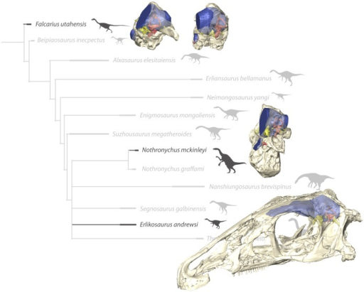 In-situ endocranial elements of the described therizinosaurian taxa displayed in their phylogenetic context.Bone rendered transparent to reveal endocranial anatomy. (Phylogeny modified from [4]).