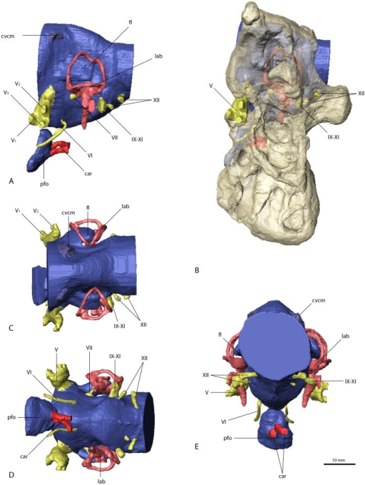 Cranial endocast and braincase of Nothronychus mckinleyi (AZMNH-2117).In (A) and (B) in left lateral, (C) caudal, (D) dorsal, and (E) ventral view. Bone in (B) rendered transparent. Abbreviations: car, cerebral carotid artery canal; cvcm, caudal middle cerebral vein; fl, floccular lobe; lab, endosseous labyrinth; pfo, pituitary (hypophyseal) fossa; V1, ophthalmic branch of the trigeminal nerve canal; V2, maxillary branch of the trigeminal nerve canal; V3, mandibular branch of the trigeminal nerve canal; VI, abducens nerve canal; VII, facial nerve canal; IX–XI, shared canal for the glossopharyngeal, vagus and spinal accessory nerve; XII, hypoglossal nerve canal.