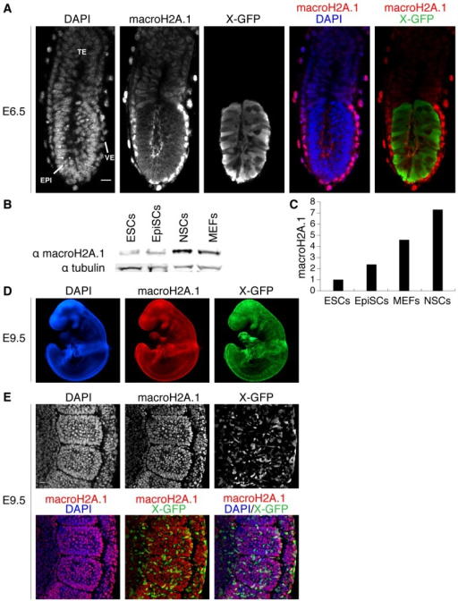 MacroH2A.1 becomes highly expressed during somatic lineage development. (A) E6.5 female X-GFP mouse conceptus wholemount immunofluorescence against macroH2A.1 (red in merge panel) and GFP (green in merge panel). MacroH2A.1 is highly expressed in the visceral endoderm (VE) and to some extent in the extra embryonic ectoderm (TE) but is not detected in the epiblast (EPI), precursor of all somatic lineages (mosaic X-GFP expression due to random X chromosome inactivation). DAPI is in blue. Images are projected confocal Z-sections. (B) Western blot analysis of macroH2A.1 in ESCs, EpiSCs, NSCs and MEFs. All cells are female. Tubulin was used as a loading control. (C) Quantification of western blot analysis shown in B. MacroH2A.1 signal was normalized to tubulin and ESCs levels set to 1. MacroH2A.1 expression is lowest in ESCs and increases with the differentiated state in EpiSCs, MEFs and adult NSCs. (D) E9.5 female X-GFP mouse embryo wholemount immunofluorescence against macroH2A.1 (red) and GFP (green). MacroH2A.1 is expressed throughout all tissues of the embryo at this stage. DAPI is in blue. Images acquired using epifluorescence microscopy. (E) E9.5 X-GFP mouse embryo immunofluorescence against macroH2A.1 (red) and GFP (green) showing a portion of the lateral plate mesoderm (including somites). Nuclear macroH2A.1 is detected in all somatic cells. Mosaic X-GFP expression is due to random X chromosome inactivation. DAPI is in blue. Images are projected confocal Z-sections. Scale bars: 20 µm.