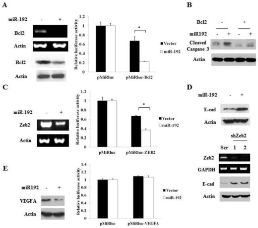 miR-192 directly or indirectly regulates expression of Bcl2, Zeb2 and VEGFAA, C and E, Bcl2 mRNA and protein (A), Zeb2 mRNA (C) and VEGFA protein (E) were determined in HCT116 control and miR-192-expressing cells (left panels). Luciferase constructs were co-transfected into HCT116 cells with β-gal expression vector. Luciferase activity was normalized to β-gal activity. The data are presented as mean ± SE of triplicate experiments (right panels). * P < 0.001 (A), * P < 0.01 (C). B, Bcl2 was ectopically expressed in HCT116 control and miR-192-expressing cells. Western blot analysis of cleaved caspase 3 was performed. D, Expression of E-cadherin was determined in HCT116 control and miR-192-expressing cells (upper panel). Expression of E-cadherin was determined in HCT116 control (Scr) and Zeb2-knocked down (shZeb2) cells (lower panel).