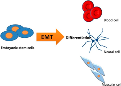 Potential effect of epithelial–mesenchymal transition (EMT) on the differentiation of embryonic stem cells (ESCs). Transcription factors, that is, the snail family, and regulatory factors, that is, microRNA, that regulate downstream signaling pathways associated with the EMT response might affect EMT in ESCs. ESCs (embryo blastocyst; undifferentiated) differentiate into many cell types in the body, suggesting that EMT might be involved in the differentiation of ESCs.