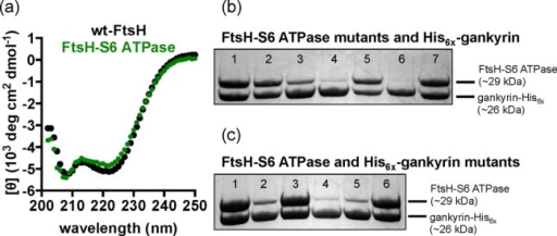 (a) Circular dichroismspectra of wild-type FtsH (wt-FtsH, top)and FtsH-S6 ATPase (bottom). (b) Co-purification of wild-type gankyrin-His6x and FtsH-S6 ATPase mutants: wt-S6 FtsH-S6 ATPase (lane 1),R342A (lane 2), R338A/R342A (lane 3), R338A/R339A/R342A (lane 4),E356A/E357A (lane 5), D359A/D362A (lane 6), and K397E (lane 7). (c)Co-purification of wild-type S6 ATPase and gankyrin-His6x mutants: wt-gankyrin (lane 1), R41A (lane 2), K116A (lane 3), R41A/K116A(lane 4), D39A/D71A (lane 5), and E182A (lane 6).