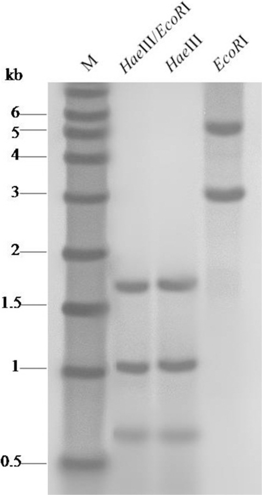 Genomic southern blot hybridization analysis of Japanese foxtail digested with EcoRI, HaeIII and both enzymes.M, DIG labeled DNA molecular weight.