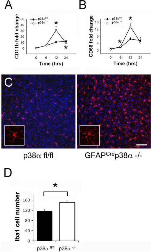 Microglia/macrophages at the CNS site of injury in GFAPCrep38α−/− mice after intracerebral LPS injection (A) After intracerebral LPS injection, CD11b mRNA showed significant upregulation in GFAPcre p38α−/− mice at 12 hours (p < 0.05); this upregulation was relatively moderate and not significant in p38αfl/fl cohorts. Comparison between genotypes showed a significantly higher CD11b expression in GFAPcrep38α−/− mice p38αfl/fl cohorts at 12 hours (p < 0.05). (B) Similarly, CD68 mRNA showed significant upregulation in GFAPcre p38α−/− mice at 12 hours after LPS injection (p < 0.05); this upregulation was relatively moderate and not significant in p38αfl/fl cohorts. Comparison between genotypes showed a significantly higher CD68 expression in GFAPcrep38α−/− mice compared to p38αfl/fl cohorts at 6 and 12 hours (p < 0.05). (C) Iba1 positive cells were distributed in the brain parenchyma and were not particularly clustered at the site of injury. A more prominent distribution of Iba1 positive microglia/macrophages were observed in GFAPcre p38α−/− mice compared to p38αfl/fl cohorts at 24 hours after intracerebral LPS injection (scale bar = 100 μm). (D) Numerical quantification of Iba1 positive cells showed a significant increase in their numbers in GFAPcre p38α−/− mice compared to p38αfl/fl control mice. *p < 0.05; data represent mean ± SEM.