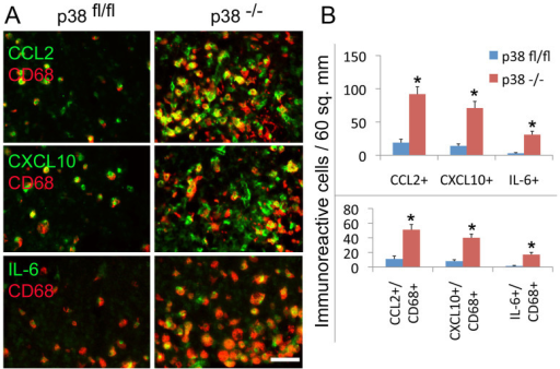 Immunostaining and quantification of chemokine and cytokine protein expression in the brain of GFAPCre p38α−/− and p38αfl/fl mice after intracerebral LPS injection.(A) The immunoreactivity of CCL2, CXCL10 and IL-6 was observed in the increased population of CD68+ cells in the brain of GFAPcre p38α−/− mice compared to p38αfl/fl mice at 6 hours after LPS stimulation. (B) Quantification of immunoreactive cells expressing CCL2, CXCL10 and IL-6 and the expression of CCL2, CXCL10 and IL-6 in the population of CD68+ cells in the brain of GFAPcre p38α−/− mice compared to p38αfl/fl mice at 6 hours after LPS stimulation.