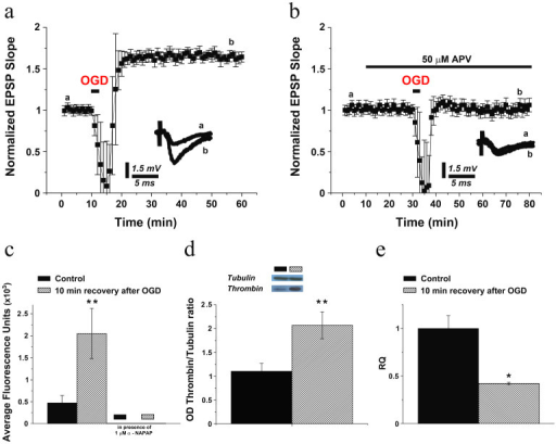 OGD induces iLTP and increases thrombin activity and protein levels in acute hippocampal slices.(a) A brief exposure (3 minutes) to OGD induces iLTP in the hippocampus which is blocked by previous application of 50 μM of APV, an NMDAR antagonist (b). Averaged EPSPs are plotted versus time. Representative traces at indicated times (a, b) are shown for each section. In hippocampal slices undergoing OGD, (c) thrombin activity and (d) concentration are enhanced, while (e) prothrombin mRNA is reduced 10 minutes upon OGD recovery. * p < 0.05; ** p < 0.01.