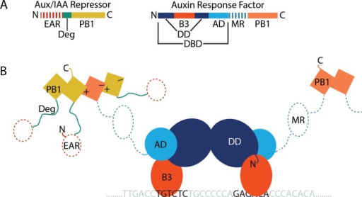 Domain diagram and simple structural schematic of the newly postulated auxin responsive transcriptional regulatory complex(A) Domain diagrams of a typical Aux/IAA repressor family protein and a typical Auxin Response Factor (ARF) transcription factor. (B) A highly simplified structural schematic of an ARF regulatory complex in the absence of auxin. An ARF dimer is bound to an Auxin Response Element (AuxRE) inverted repeat. ARF and Aux/IAA PB1 domains form multimers, interacting via positive and negative faces. Structural data exist for domains with solid colors and lines, whereas dashed lines represent domains of unknown structure.DBD, DNA-binding domain, DD, dimerization domain; B3, B3 DNA-binding domain; AD, ancillary domain; MR, middle region; PB1, PB1 protein-protein interaction domain; EAR, EAR motif corepressor-binding domain; Deg, degron motif; N, N-terminus; C, C-terminus.