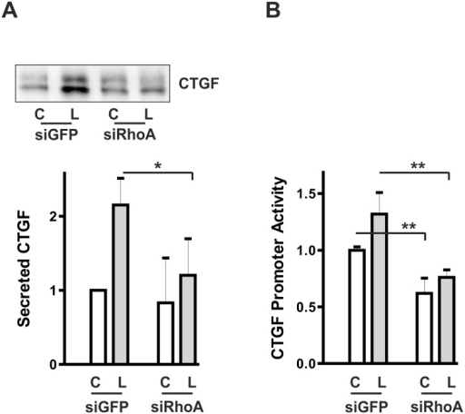 Transient down-regulation of RhoA interferes with CTGF synthesis.(A) HKC-8 cells were transfected with siRNA against GFP or RhoA. After 48 h, cells were stimulated with LPA (L, 10 μM) for 2 h. Secreted CTGF was precipitated from the cell culture supernatants and analyzed by Western blotting. The graph summarizes data of 4 independent experiments. CTGF expression in controls cells was set to 1 in each experiment. Means ± SD, * p < 0.05, ANOVA with Tukey's multiple comparison test. (B) HKC-8 cells were treated with siRNA directed against GFP or RhoA 3 h after seeding. One day after siRNA transfection, HKC-8 cells were transfected with the 4.5 kb CTGF promoter construct. Stimulation with LPA was 4 h. The graph summarizes means ± SD of 3 independent experiments. Promoter activity in LPA-stimulated siGFP-transfected cells was set to 1 in each experiment. * *p < 0.001, ANOVA with Tukey's multiple comparison test.
