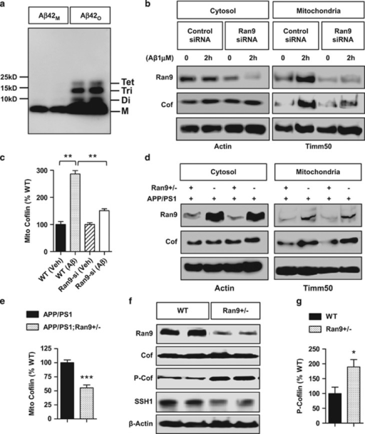 RanBP9 mediates AβO-induced translocation of cofilin to mitochondria and lowers cofilin activation via SSH1. (a) Freshly solubilized Aβ1-42 monomers (Aβ42M) or Aβ1-42 oligomer preparation (Aβ42O) subjected to SDS-PAGE and immunoblotted for Aβ. Note the monomer (M), dimers (Di), trimmers (Tri), and tetramemers (Tet) in the oligomer preparation. (b and c) Hippocampus-derived HT22 cells transiently transfected with control or RanBP9 siRNA for 48 h, treated with/without Aβ1-42O for 2 h, separated for mitochondrial and cytosol fractions, and subjected to immunoblotting for the indicated proteins. A representative experiment is shown. Notice the reduction phospho-cofilin upon Aβ42O treatment but mitigated response in RanBP9 siRNA knocked down cells. (c) Quantitation of mitochondrial cofilin (ANOVA, post-hoc Tukey, **P<0.005, n=3 replicates). (d and e) Hippocampal extracts from 3-month-old APP/PS1 and APP/PS1;RanBP9+/− mice subjected to separation of mitochondrial and cytosol fractions and immunoblotted for the indicated proteins. Note the reduced level of cofilin in mitochondrial fraction of APP/PS1;RanBP9+/− brain. (e) Quantitation of mitochondrial cofilin (t-test, **P<0.005, n=4 mice per genotype). (f-h) Hippocampal extracts from 3-month-old WT and littermate RanBP9+/− (Ran9+/−) mice subjected to immunoblotting for the indicated proteins. Representative experiment showing increase in phospho-cofilin (P-cofilin) and decrease in SSH1 in RanBP9+/− brain. (g) Quantitation of P-cofilin in hippocampus (t=2.74, P=0.022, *P<0.05, n=5 mice per genotype). (h) Quantitation of SSH1 (t-test, **P=0.0016, n=4 mice per genotype). (i and j) HT22 cells transiently transfected with vector control (Vec) or Flag-RanBP9 and immunoblotted for the indicated proteins. Note the increase in SSH1 but not LIMK1 by RanBP9 overexpression. (j) Quantitation of SSH1 (t-test, ***P<0.0001, n=4 replicates). Error bars represent S.E.M. on graphs. (k) Cortex (CTX) and hippocampus (HIPP) homogenates of 6-month-old WT or littermate Flag-RanBP9 transgenic (TG) mice immunoprecipitated for SSH1 and/or immunoblotted for the indicated proteins. Note the increase in SSH1-RanBP9 complex in Flag-RanBP9 transgenic mice (TG). (l) HT22 cells transiently transfected with/without RanBP9 siRNA and treated with/without Aβ42O (1 μM) for 2 h followed by immunoprecipitation for SSH1 and/or immunoblotting for the indicated proteins. Note that RanBP9 siRNA reduces SSH1 levels and decreases Aβ42O-induced enhancement of cofilin–SSH1 interaction. (m) Quantitation of SSH1 protein levels with/without RanBP9 siRNA transfection in HT22 cells (t-test, ***P=0.0008, n=4 replicates). (n) DIV18 cortical primary neurons treated with or without Aβ42O (1 μM) for 2 h, subjected to immunoprecipitation for SSH1, and/or immunoblotting for the indicated proteins. Note the increase in RanBP9-SSH1 and cofilin-SSH1 complex formation with Aβ42O treatment. (o) HT22 cells transiently transfected with control, RanBP9 siRNA, or RanBP9 and subjected to cycloheximide (CHX) treatment for the indicated times followed by immunoblotting for SSH1 or actin. Representative blots adjusted to show similar signal at time 0. Note that RanBP9 siRNA and overexpression accelerates and delays SSH1 turnover, respectively