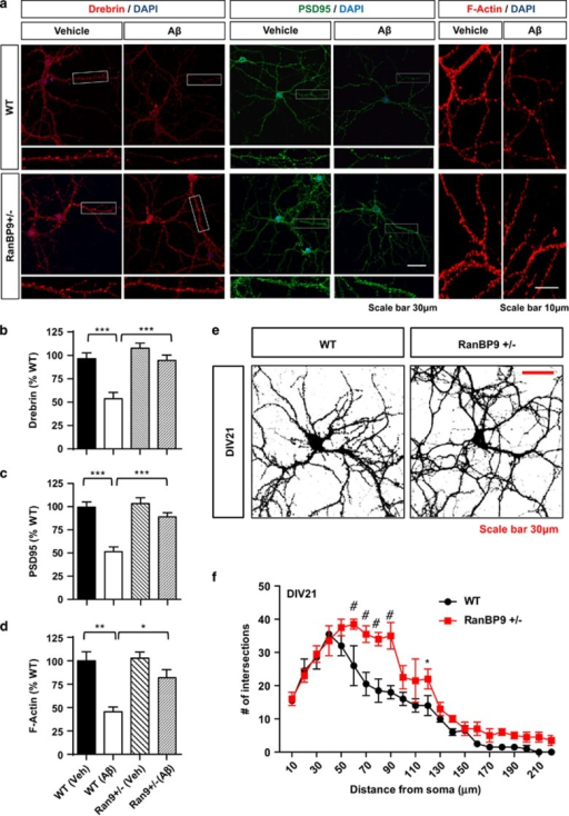 RanBP9 mediates the depletion of postsynaptic proteins and F-actin induced by Aβ1-42O in mature primary hippocampal neurons. (a-d) DIV21 primary hippocampal neurons derived from P0 RanBP9+/− and WT littermate mice treated with or without Aβ1-42O (1 μM) for 2 h and subjected to immunocytochemistry for Drebrin, PSD95, and F-actin (Rhodamine-phalloidin). (a) Representative images showing Aβ1-42O-induced depletion of Drebrin, PSD95, and F-actin in WT neurons but not in RanBP9+/− neurons. (b) Quantitation of Drebrin intensity in secondary and tertiary spine-containing dendrites (ANOVA, post-hoc Tukey, ***P<0.0005, n=9 replicates from three pups per genotype). (c) Quantitation of PSD95 intensity in secondary and tertiary spine-containing dendrites (ANOVA, post-hoc Tukey, ***P<0.0005, n=10 replicates from three pups per genotype). (d) Quantitation of F-actin (Rhodamine-phalloidin) intensity in secondary and tertiary spine-containing dendrites (ANOVA, post-hoc Tukey, **P<0.005, *P<0.05, n=4 replicates from two pups per genotype). Error bars represent S.E.M. on graphs. (e and f) Scholl analysis of neurite arborization/elongation in WT and RanBP9+/− hippocampal neurons on DIV21. (e) Representative images of saturated F-actin stain. (f) Quantitation of neurite intersections on concentric circles from the soma in 10μm increments (10–220 μm) (two-way ANOVA, post-hoc Bonferroni, *P<0.05, #P<0.0005, n=3 replicates from two pups per genotype). Error bars represent S.E.M. in graphs