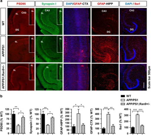RanBP9 reduction rescues neuroinflammation and synaptic protein depletion in APP/PS1 transgenic mice. (a-e) Brains from 8-month-old WT, APP/PS1, and APP/PS1;RanBP9+/− mice subjected to immunohistochemistry for GFAP (activated astrocyte marker), Iba1 (activated microglia marker), Synapsin I (presynaptic marker), and PSD95 (postsynaptic marker) in the anterior cortex (CTX) and/or hippocampus (HIPP). (a) Representative images showing RanBP9 reduction rescues neuroinflammation (GFAP and Iba1) and synaptic protein loss (Synapsin I and PSD95) in APP/PS1 mice. (b) Quantitation of PSD95 intensity within the SL of CA3 (ANOVA, post-hoc Tukey, *P<0.05, **P<0.005, n=4 mice per genotype, 2 F and 2 M). Quantitation of synapsin I intensity within the SL of CA3 (ANOVA, post-hoc Tukey, *P<0.05, **P<0.005, n=4 mice per genotype, 2 F and 2 M). Quantitation of GFAP intensity in the hippocampus (ANOVA, post-hoc Tukey, *P<0.05, n=4 mice per genotype, 2 F and 2 M). Quantitation of GFAP intensity in the anterior cortex (ANOVA, post-hoc Tukey, **P=<0.005, ***P<0.0005, n=4 mice per genotype, 2 F and 2 M). Quantification of Iba1 intensity in the hippocampus (ANOVA, post-hoc Tukey, ***P<0.0005, n=4 mice per genotype, 2 F and 2 M). Error bars represent S.E.M. on graphs
