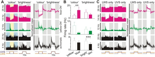 "Colour opponent responses in suprachiasmatic neurons.(A: left) Example responses of 5 SCN neurons to stimuli modulating UVS and LWS opsin excitation in antiphase (""colour"") or in unison (""brightness""; both 70% Michelson contrast). Individual cells were preferentially excited by blue–yellow transitions (""blue ON""; pink traces), yellow-blue transitions (""yellow ON""; green traces) or dim-bright transitions (""achromatic""; black traces). Shaded areas represent blue/yellow or dim/bright stimulus phase; y-axis scale bars reflects peak firing rate in spikes/s; x-axis scale bars indicate temporal profile of UVS/LWS opsin excitation. (A: right) Normalised mean (±SEM) change in firing for cells classified as ""blue-ON"", ""yellow-ON"" or achromatic (n = 13, 4 and 26 respectively). Conventions as above. (B) Mean (±SEM) firing rates of SCN cell populations tested with colour and brightness stimuli immediately following transitions (0–500 ms) from ""blue""–""yellow""/""dim""–""bright"" or vice versa. Data were analysed by paired t test; *** p<0.001, ** p<0.01. (C: left) Responses of cells from A to selective modulation of LWS or UVS opsin excitation, indicating ""blue""-ON/""yellow-OFF"", ""yellow-ON""/""blue-OFF"" or non-opponent responses (conventions as in A). (C: right) Normalised mean (±SEM) change in firing for SCN cell populations evoked by LWS and UVS opsin isolating stimuli. Note, normalisation and scaling for data in A and C is identical. The data used to make this figure can be found in S2 Data."