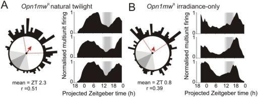 "Twilight spectral composition regulates photoperiodic encoding in the suprachiasmatic nuclei.(A–B) Phasing of SCN firing rhythms from ex vivo multielectrode array recordings of Opn1mwR mice housed under natural (A) or irradiance-only (B) twilight photoperiods. Left panels show Rayleigh vector plots for peak firing activity (n = 124 and 170 SCN electrodes from seven and six slices in A and B respectively). Grey-shaded areas correspond to timing of night/twilight transitions, red dotted lines indicate central 50% of the data distribution, arrows indicate mean vector direction. Right panels show representative multiunit traces. Consistent with body temperature data (Fig 5), SCN activity peaks later in mice housed under ""natural"" relative to irradiance-only twilight (p<0.001 based on bootstrap percentiles). The data used to make this figure can be found in S6 Data."