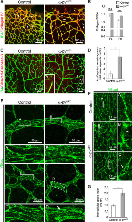 Loss of endothelial α-parvin (α-pv) results in increased vessel regression. A, P8 control and α-pviΔEC retinas labeled for isolectin-B4 (IB4) and collagen IV. Arrows point to empty collagen IV sleeves. B, Ratio of collagen IV–positive vessel segments to IB4-positive vessel segments. Values represent mean±SEM. P values are 0.18 and 0.0004, respectively. C, P7.5 control and α-pviΔEC retinas labeled for IB4 and cleaved (active) caspase-3. Arrows point to cleaved caspase-3–positive vessel segments. D, Relative ratio of cleaved (Act) caspase-3–positive vessel segments to total vessel segments. Values represent mean vs control±SEM. P value is 0.05. E, P7 control and α-pviΔEC retinas labeled for VE-cadherin. Arrow highlights intercellular space between endothelial cells (ECs). F, VE-cadherin whole-mount immunostaining of E15.5 yolk sacs from control and α-pvΔEC mice. Arrows highlight intercellular space between ECs. G, Quantification of intercellular space index in the YS vasculature. Values represent mean vs control±SEM. P value is 0.02. ns P>0.05, *P≤0.05, ***P≤0.001.