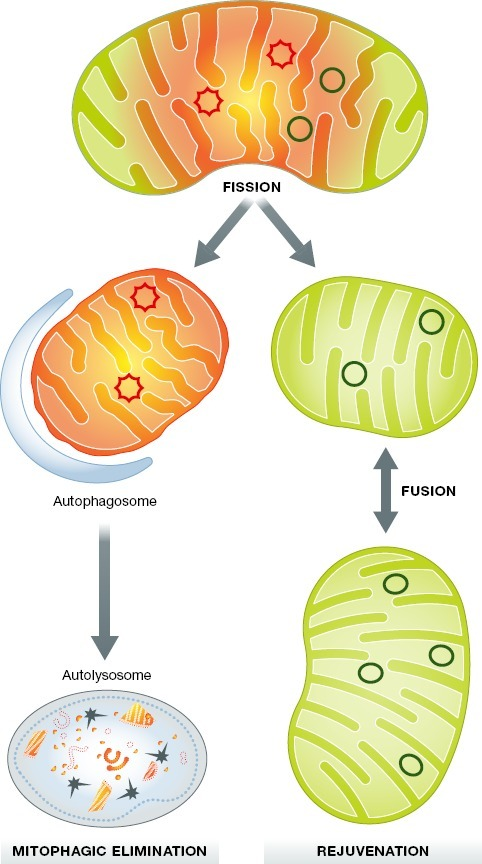 Asymmetric fission for mitochondrial quality controlA damaged or senescent mitochondrion (mixture of damaged yellow/orange and healthy green components) is shown. Via asymmetric fission, the healthy components are delivered to one daughter that is fusion-competent, rejuvenated, and retained. The damaged components are segregated into the other, smaller daughter that is depolarized and promptly eliminated via mitophagy.