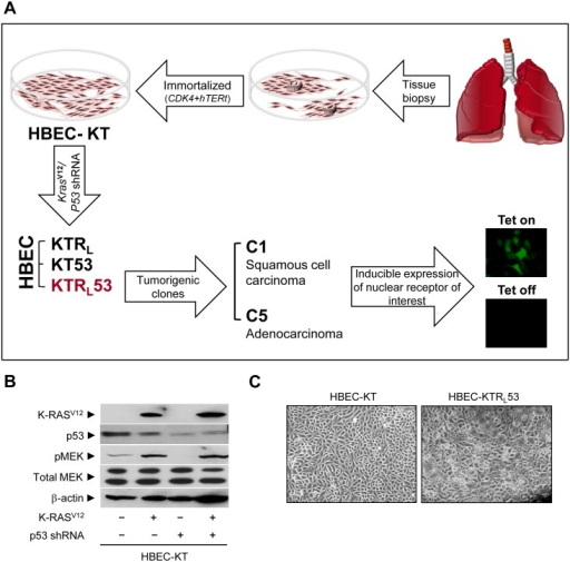 Characterization of human bronchial epithelial cells.(A) Schematics to generate a panel of HBEC cells. (B, C) In vitro characterization of HBECs. (B) Immunoblot assays were performed for the expression of K-rasV12, p53, pMEK, total MEK, and beta-actin in HBEC cells. (C) A microscopic view of HBEC cells (magnification, 1x). Note that HBEC-KT stands for HBEC cell lines immortalized by CDK4 plus hTERt; KTRL, KT plus oncogenic K-rasV12; KT53, KT plus p53 knock-down; KTRL53, KTRL plus p53 knock-down.