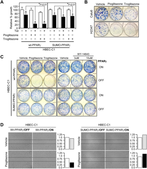 Functional evaluation of PPARγ in tumorigenic lung cancer cells.Growth response and cell migration of lung cancer were analyzed to treatment with PPARγ ligands. (A) Cell growth response. HBEC-C1-wt-PPARγ and HBEC-C1-SUMO-PPARγ cell lines were treated with 3 μM of pioglitazone or troglitazone for 3 days with or without tetracycline induction and followed by cell counting assay. Note that the result represents three independent sets of experiments. Liquid colony formation (B,C) and cell migration (D) assays were performed as described in Materials and Methods. Cells were treated with 3 μM of TZDs, or 3 and 10 μM of WY-14643 under the condition of PPARγ-ON or -OFF. Data represent the mean ± SD (n = 3). Asterisks show statistically significant points as evaluated by ANOVA. *P < 0.001 compared to HBEC-KT control.