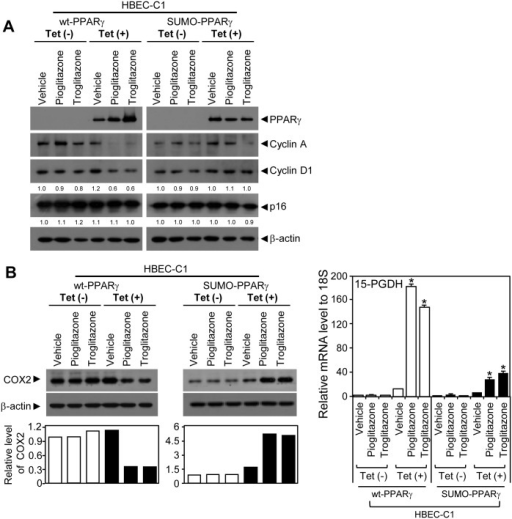 Expression of cellular and inflammatory factors in tumorigenic HBEC clones inducibly expressing PPARγ(A) Immunoblots using antibodies against PPARγ, cyclin A, cyclin D1, p16, or beta-actin were used to measure the corresponding protein expression in tumorigenic HBECs expressing wt-PPARγ or SUMO-PPARγ when treated with 3 μM of TZDs. (B) COX2 (left) and 15-PGDH (right) expression upon activation of wt-PPARγ or SUMO-PPARγ with 3 μM of TZD treatments. The expression of COX2 protein was measured by immunoblot assay in HBEC-C1 cell lines, HBEC-C1-wt-PPARγ and HBEC-C1-SUMO-PPARγ, treated with 3 μM of TZDs (e.g., pioglitazone or troglitazone) under tet-ON or -OFF condition. The relative level of COX2 expression was referenced by the corresponding beta-actin level and further normalized by the vehicle-treated sample in each group (left-bottom in B). 15-PGDH mRNA expression was measured using QPCR assay in the same sample sets (right panel in B). Data represent the mean ± SD (n = 3). Asterisks show statistically significant points as evaluated by ANOVA. *P < 0.001 compared to HBEC-KT control.