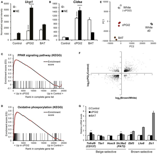 "cPGI2 specifically induces a broad thermogenic gene expression program in adipocyte progenitors without lineage conversion. Lin−CD29+CD34+Sca-1+ cells from posterior subcutaneous fat were cultured in adipogenic media ± cPGI2 for 8 days. Lin−CD29+CD34+Sca-1+ cells from interscapular brown fat (BAT) were cultured in adipogenic media for 8 days and used as a reference. Three hours before harvest, cells were cultured ± norepinephrine (NE). RNA expression profiling was performed with Illumina beadchip arrays (n = 3). (A,B) Normalized signal intensities for the indicated genes/probes are shown (asterisks indicate Bonferroni cPGI2 vs. Control ****p < 0.0001, *p < 0.05, n = 3). (C,D) Enrichment plots of the OxPhos (C) and PPAR (D) gene sets obtained by GSEA (cPGI2 vs. Control) with the KEGG pathway gene set collection (FDR q ≤ 0.0001, see Table 1). Vertical bars represent the individual genes of the gene set/pathway ranked according to their regulation by cPGI2 (based on signal-to-noise ratio, see Materials and Methods). X-axis values represent the rank within the complete ranked gene list (transcriptome). The enrichment score (ES) reflects the degree to which a gene set is overrepresented at the top or bottom of the complete ranked gene list. (E) Principal component analysis was performed on RNA expression profiles from day 8 differentiated cells as indicated (White, cPGI2, BAT) including undifferentiated subcutaneous Lin−CD29+CD34+Sca-1+ cells (White d0). The sample coordinates for principal component (PC) 1 and 2 are shown. PC1 and PC2 captured 80% of the overall variability. (F) 1793 genes were selected with significant differential expression (p < 0.05) in both the cPGI2 vs. Control and the BAT vs. ""white"" (equivalent to Control, i.e., minus cPGI2) comparisons. The log2-ratios of the corresponding expression levels in the two comparisons were plotted. (G) Normalized signal intensities of the indicated genes are plotted (relative to Control). (* indicates Tukey cPGI2 vs. Control p < 0.01, n = 3)."
