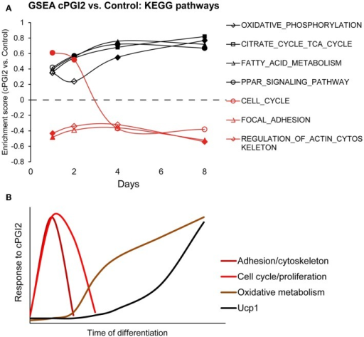 Progenitor activation by cPGI2 precedes metabolic differentiation. (A) Lin−CD29+CD34+Sca-1+ cells were cultured in adipogenic media ± cPGI2 for the indicated times, at which RNA was obtained for expression profiling with Illumina beadchip arrays (n = 3). GSEA was performed at each time point (cPGI2 vs. Control) with the KEGG pathway gene set collection. The enrichment scores of the indicated gene sets related to progenitor activation (red) or metabolic maturation (black) are plotted. Closed markers indicate significance (FDR q < 0.05). (B) Schematic summary of the kinetics of progenitor cell responses to cPGI2 as detected by gene expression assays, GSEA and EdU incorporation analysis.