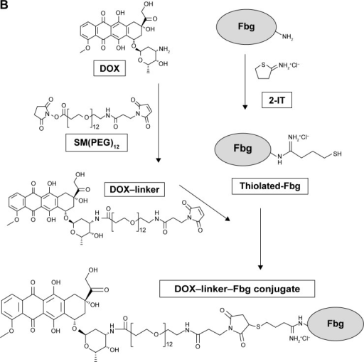 Synthesis of DOX–linker–Fbg conjugates using (A) acid-labile linkers (3-MAH; and KMUH) and (B) non-cleavable linkers (SM(PEG)4, SM(PEG)12).Abbreviations: DOX, doxorubicin; Fbg, fibrinogen; 2-IT, 2-iminothiolane; 3-MAH, 3-maleimidopropionic acid hydrazonium trifluoroacetic acid; KMUH, N-(k-maleimidoundecanoic acid; SM(PEG)4, succinimidyl-[(N-maleimidopropionamido)-tetraethylene glycol] ester; SM(PEG)12, succinimidyl-[(N-maleimidopropionamido)-dodecaethylene glycol] ester.