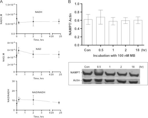 The effect of MB on NAD/NADH ratio. IMR90 cells were cultured in the presence or absence of 100 nM MB for 0 (control), 0.25, 2, and 24 h. After harvesting the cultures the cells were counted and 105 cells were used to assay NADH and NAD with the help of EnzyChrom NAD/NADH Assay Kit as described in Section 2. The level of NAD and NADH was assayed by enzymatic recycling followed by measuring the change in absorbance at 565 nm at 0 and 15 min. A. The concentration of NADH (upper panel) and NAD (center panel) were calculated using a standard curve and those were used to calculate the ratio NAD/NADH (Lower Panel). Three independent experiments are shown each was performed in triplicates. Values are Mean±sem (t-test, *P<0.02). B. A representative immunoblot depicting the effect of MB on NAMPT as well as the ratio of NAMPT to Actin calculated from immuneblots similar to the one presented.