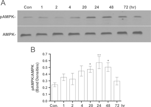 The effect of MB on pAMPK/AMPK ratio. IMR90 cells were seeded and incubated with 100 nM MB for different intervals. The cells were harvested at each specific time point and the cell lysates were prepared and stored at −80 °C. The proteins from each time point were analyzed with western blot using specific antibodies for pAMPK and AMPK as described in Section 2. The immuneblot image was captured on the x-ray film and the band density was quantified using ImageJ. A. Shows a representative immuneblot of pAMPK and AMPK. B. The ratio of pAMPK to AMPK was calculated from western blots similar to the one in A. Shown the Mean±sem of at least four independent experiments. One-way ANOVA, Dunnett's multiple comparisons test, *P<0.05, **P<0.001).