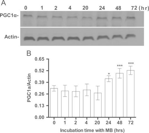 The effect of MB on the induction of PGC1α. IMR90 cells were seeded and incubated with 100 nM MB for different intervals. The cells were harvested at each specific time point and the cell lysates were prepared and stored at −80 °C. The proteins were analyzed with western blot using specific antibodies for PGC1α and Actin as described in Section 2. The immuneblot image was captured on the x-ray film and the band density was quantified using ImageJ. A. Shows a representative immunoblot of PGC1α and Actin. B. Shows the ratio of the densities of PGC1α to Actin. Shown is the Mean±sem of at least four independent experiments. One-way ANOVA, Bonferroni's multiple comparisons test (*P<0.05, ***P<0.001).
