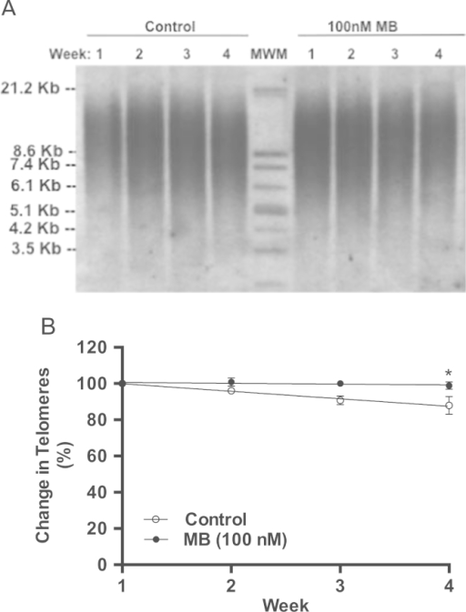 The effect of MB on the length of telomeres in IMR90 cells. IMR90 cells were treated with 100 nM MB starting at PDL 27 and ending at PDL 44. The cells were split every week, PDL calculated, cultures were re-seeded (0.5 million/plate), and the remaining cells were collected for DNA extraction as described in Section 2. Genomic DNA was extracted and processed for telomere length analysis as instructed in TeloTAGGG Telomere Length Assay kit. A. Shows Southern blot of terminal restriction fragments (TRF) after digesting the genomic DNA. B. The rate of telomeres erosion. The rate was calculated from the Kb distribution of TRF from three Southern blots similar to the one shown in A. The rate of telomere erosion was about 0.49 kb/week and 0.03 kb/week in control and MB-treated cells respectively (*P<0.02, t-test).