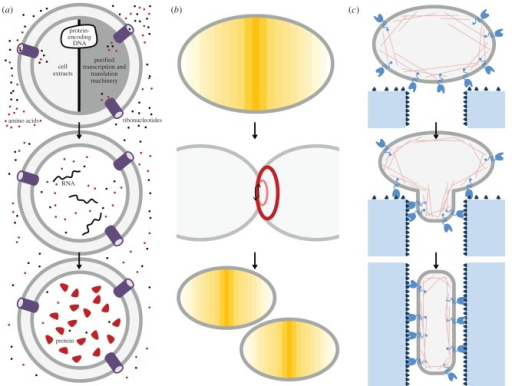 Towards functional cell modules. (a) Encapsulation of either purified components or cell extracts into small containers that are permeable for the required building blocks and energy carriers allows the sustained activity of bioreactors in which high yields of protein can be achieved providing the protein encoding DNA. This requires the functional integrity of both a transcriptional and translational system. (b) Autonomously dividing cell module. Two-dimensional confinement results in the generation of a protein pattern that leads to the definition of a 'centre'. Recruitment of proteins towards this centre leads to formation of a contractile ring that creates a furrow, which finally leads to fission after recruitment of curvature sensitive proteins. (c) Autonomously crawling cell module. The cell module consists of adhesion molecules that are present on the outside and a dynamic actin network on the inside. After initial adhesion to a substrate, symmetry breaking is caused by geometrical constraints and an adhesion gradient (higher concentration of adhesion molecules or stronger interacting adhesion molecules inside channel). The actin dynamics are now able to generate a force towards the channel, which results in net movement of the cell module until completely having entered the channel.