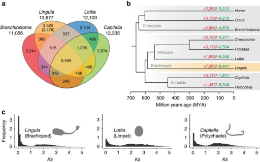 Evolution of the Lingula genome is revealed by comparative genomics of lophotrochozoan gene families.(a) Venn diagram of shared and unique gene families in four metazoans. Gene families were identified by clustering of orthologous groups using OrthoMCL. The number in parentheses shows unique gene families compared among 22 selected metazoan genomes. (b) Gene family history analyses with CAFE. Divergence times were estimated with PhyloBayes using calibration based on published fossil data. Gene families expanded or gained (red), contracted or lost (green). (c) Frequency of pair-wise genetic divergence calculated with synonymous substitution rate (Ks) among all possible paralogous pairs in the Lingula, Lottia and Capitella genomes.