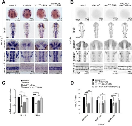 Disruption of Dtx1 expression by using dtx1ΔIII or dtx1 morpholino reduces neuronal differentiation. a The injection of dtx1ΔIII or dtx1 morpholino caused an identical phenotype, which downregulated neurog1 (a) and HuC/D expression (b) The phenotypes caused by the morpholino injection could be rescued by a concomitant injection of dtx1full cRNA. The embryo stages are shown in the bottom left corner of each panel. c qPCR analysis confirmed the results obtained through in situ hybridization in a d Counting the HuC/D-positive cells confirmed the results obtained in b *, P < 0.05; **, P < 0.01; ***, P < 0.001